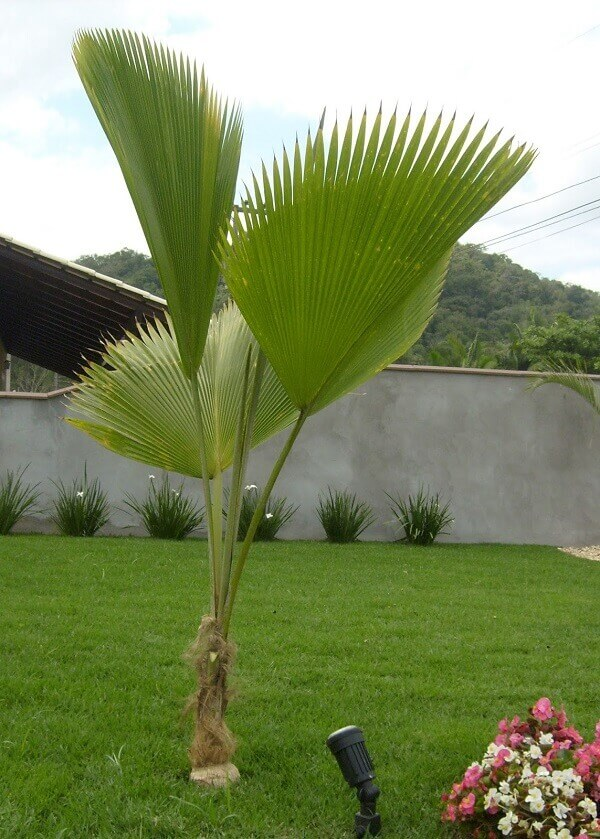 Tipos de palmeiras leque no jardim.