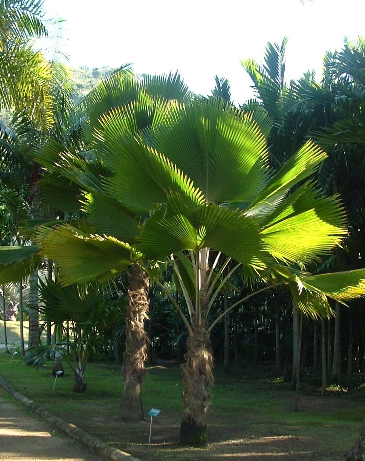 Tipos de palmeiras leque na calçada.