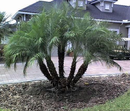 Tipos de palmeiras fênix na entrada da casa.