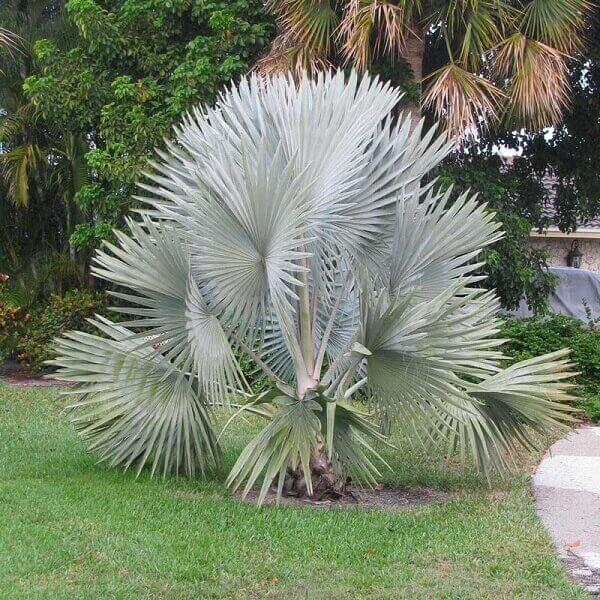 Tipos de palmeiras azul no jardim.