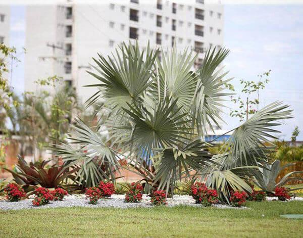 Canteiro decorado com palmeira azul.