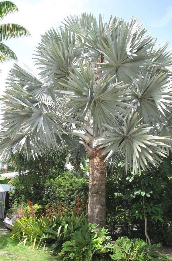 Palmeira azul grande.