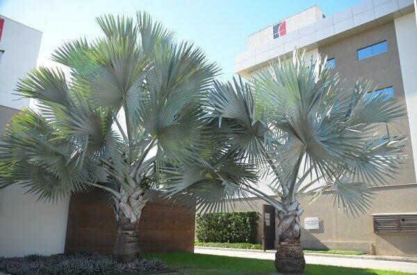 Tipos de palmeiras azuis no jardim do prédio.