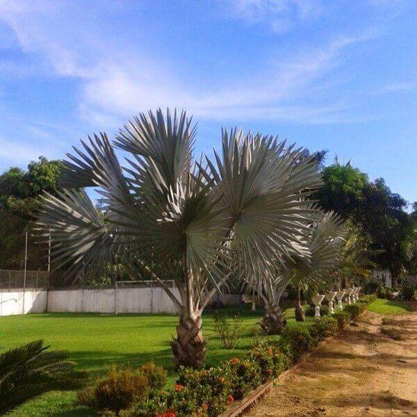 Tipos de palmeiras azuis na beira do gramado.