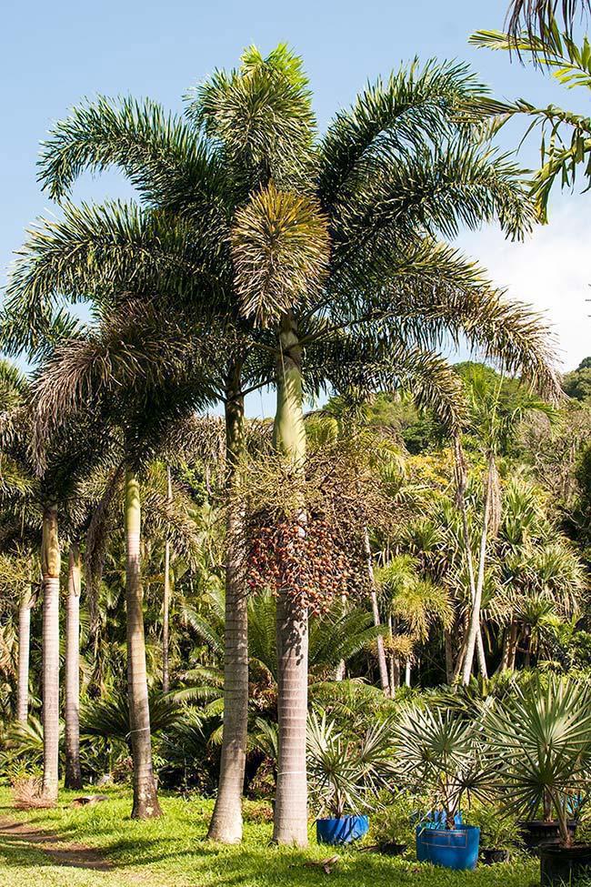 Tipos de palmeiras rabo de raposa em fileira.