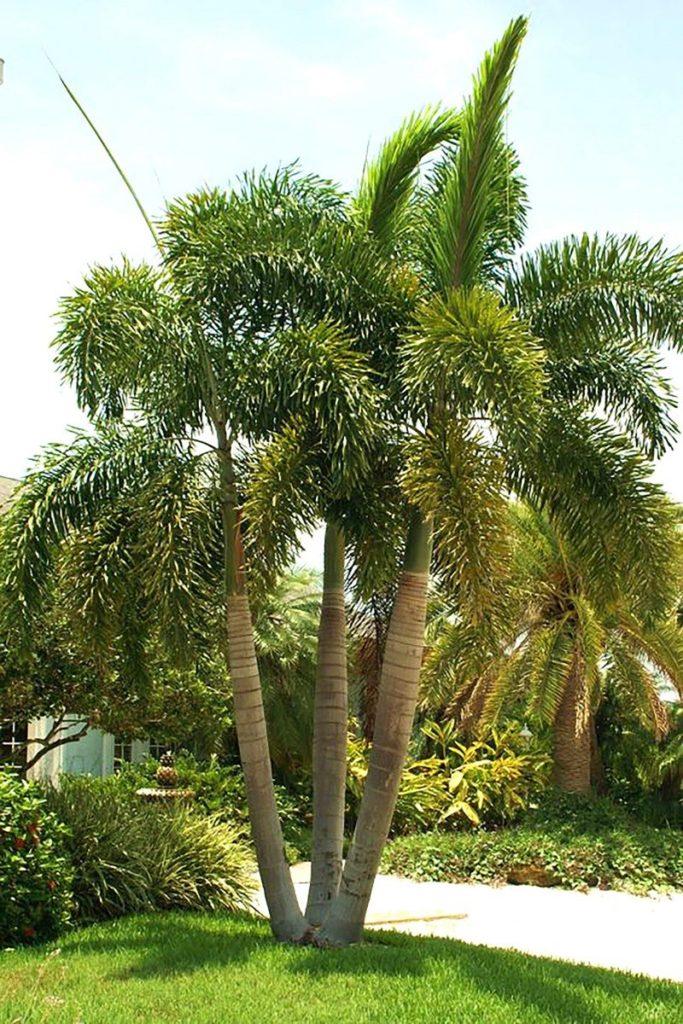Tipos de palmeiras rabo de raposa em três unidades.