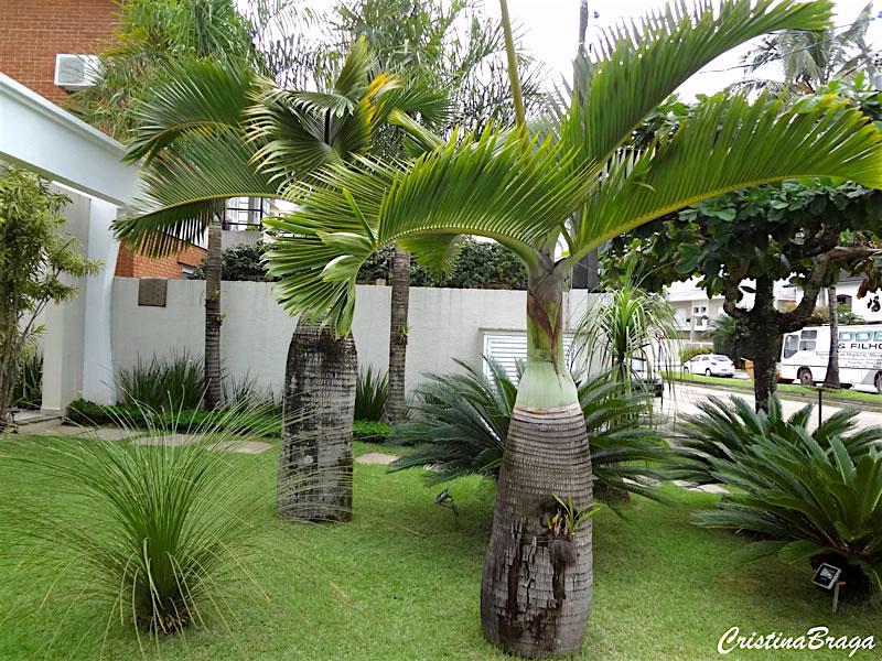 Tipos de palmeiras garrafa no jardim.