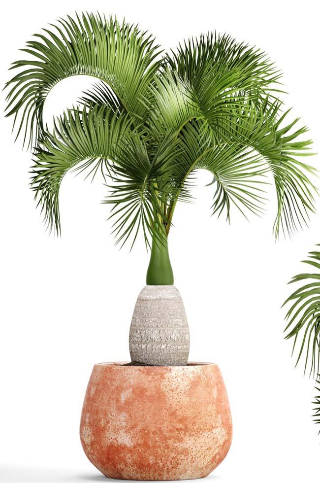 Tipos de palmeiras garrafa no vaso.