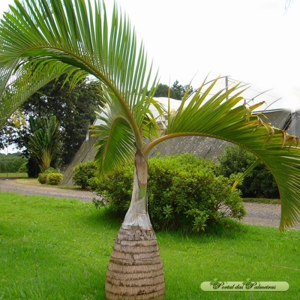 Palmeira garrafa decorando o jardim.