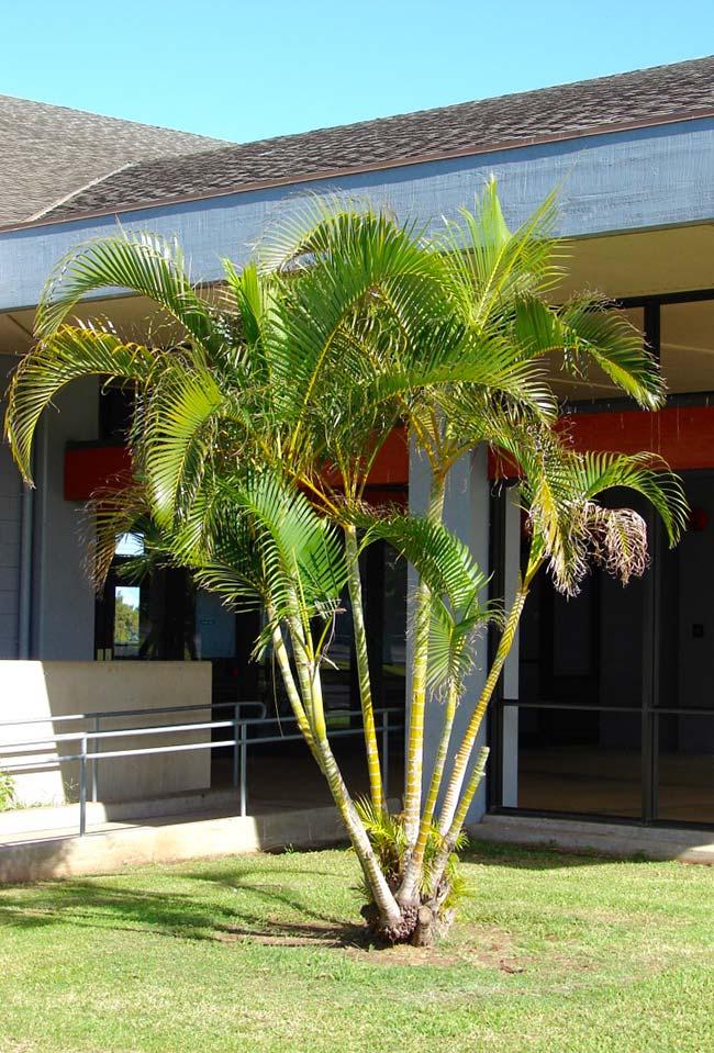 Tipos de palmeiras areca no jardim.