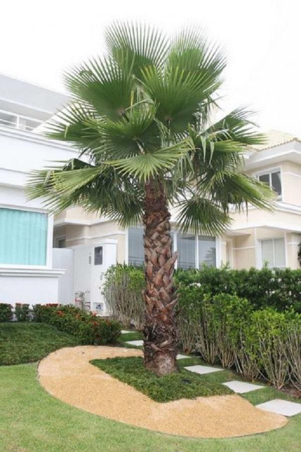 Tipos de palmeiras washingtonia na entrada da casa.