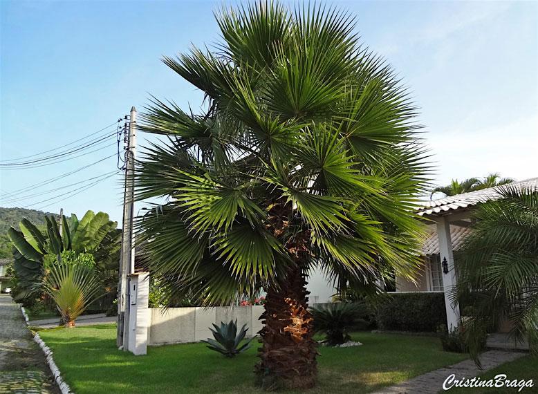 Tipos de Palmeira Washingtonia na decoração.
