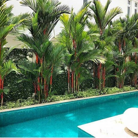 Palmeira laca na área da piscina.