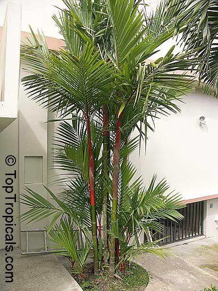Canteiro pequeno com palmeira laca.