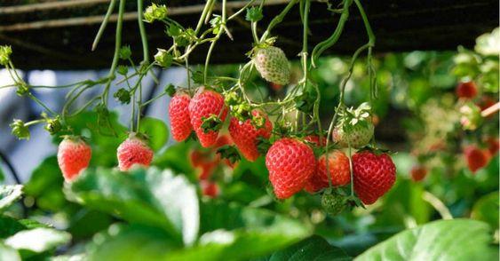 Como plantar morangos de forma suspensa.