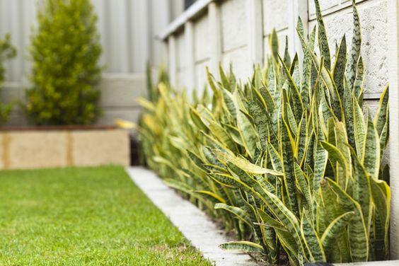 Jardim estreito com a planta espada de São Jorge.