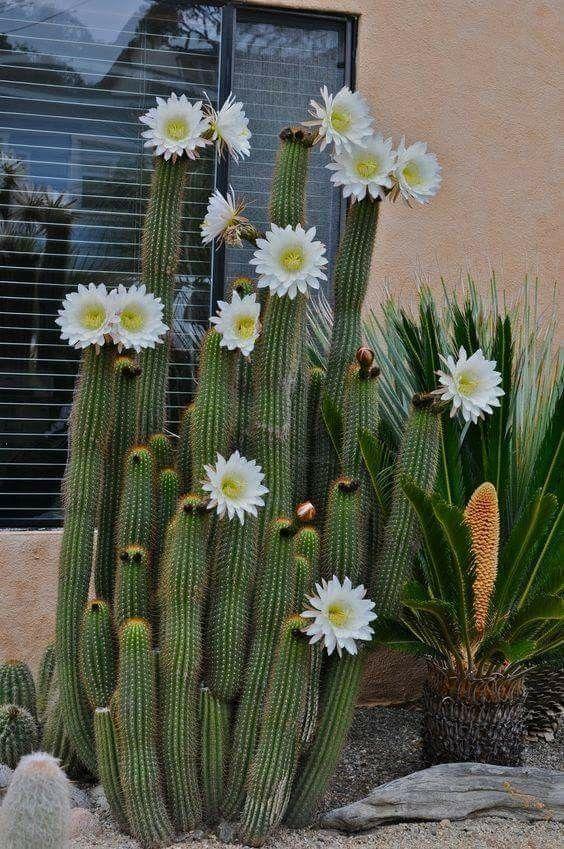 Cactos floridos.