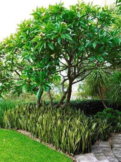 Jardim com espada de São Jorge.