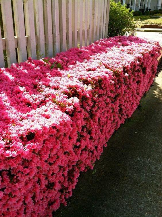 Arbusto de flores cor de rosa ao lado da cerca branca.