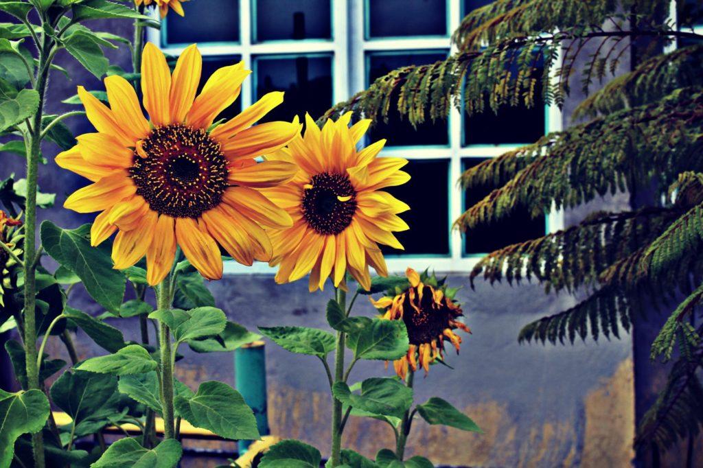 Flores ao lado de uma janela.