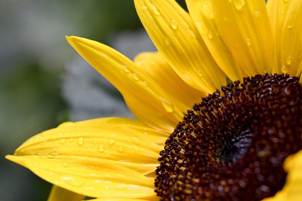 Flor de girassol molhada.