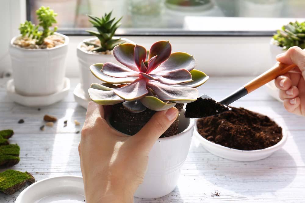 Como plantar suculentas: adicionando a muda.