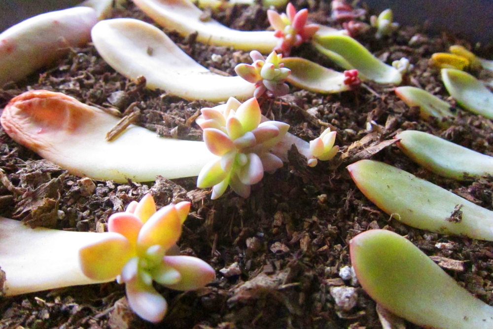 Como plantar suculentas: propagação vegetativa.