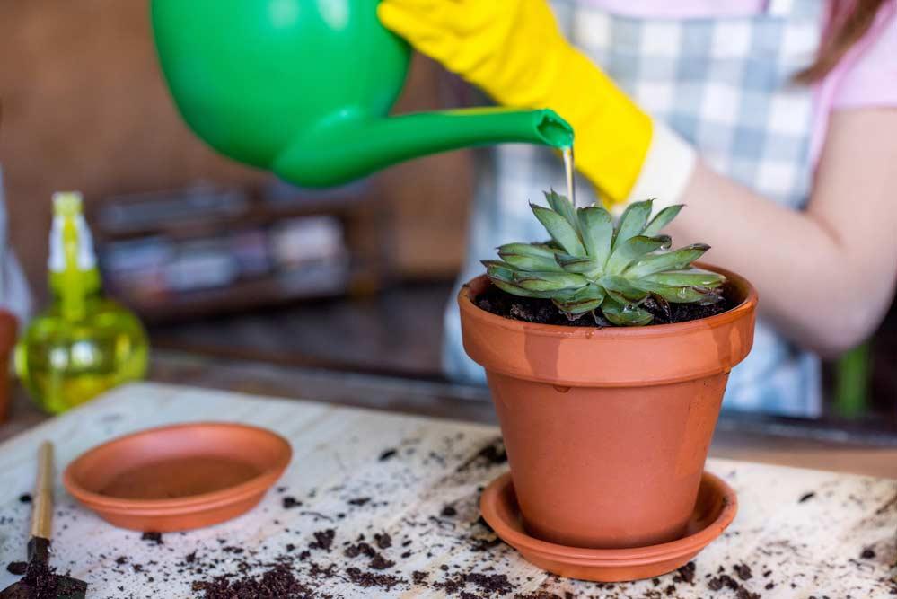 Como plantar suculentas: como regar.