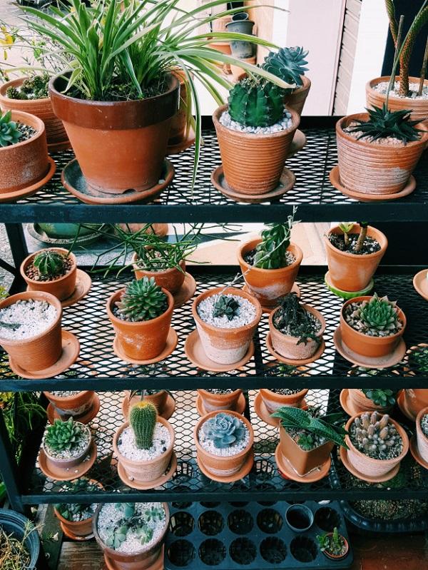 Como plantar suculentas: vasos de barro.