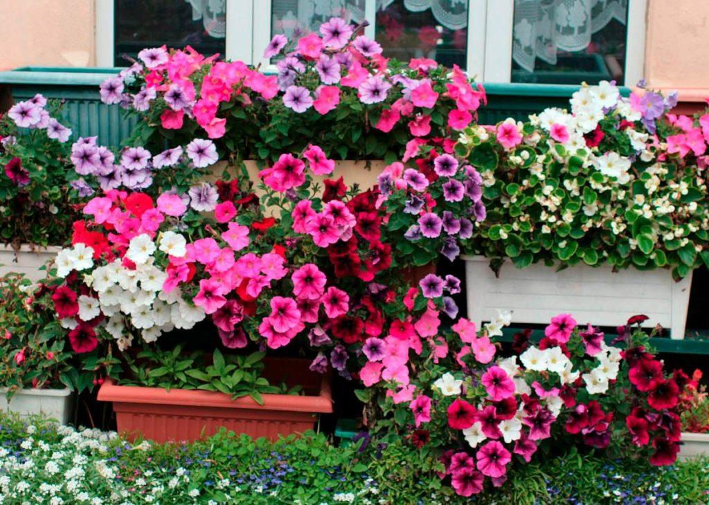 Flores que gostam de sol: petúnia