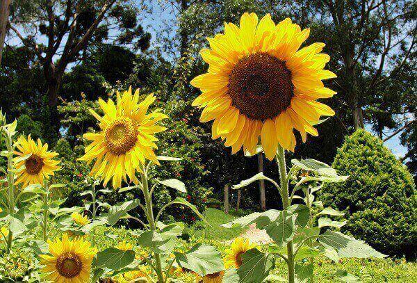 Flores que gostam de sol: girassol