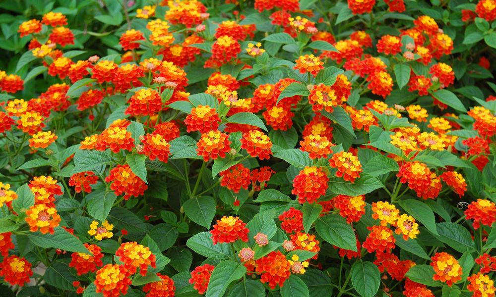 Flores que gostam de sol: lantana
