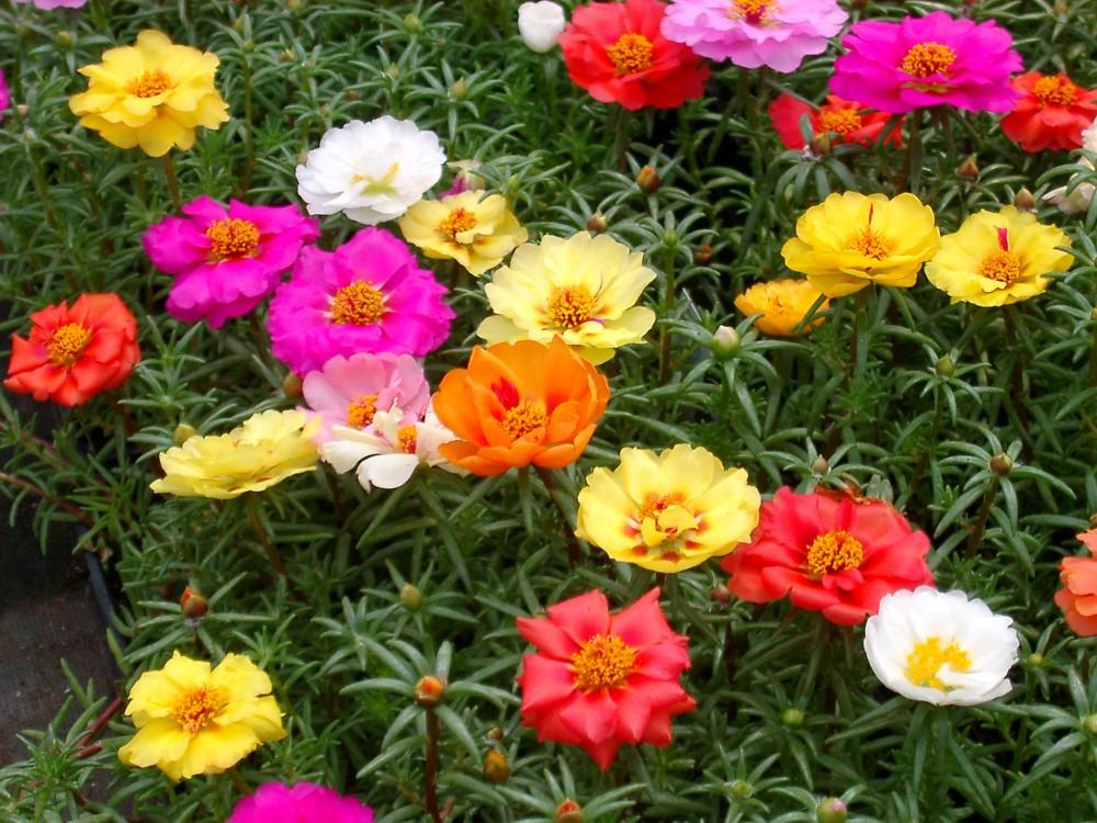 Flores que gostam de sol: onze-horas