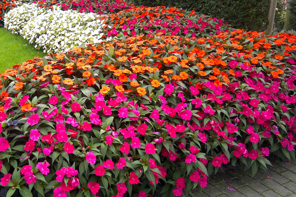 Flores que gostam de sol: sunpatiens