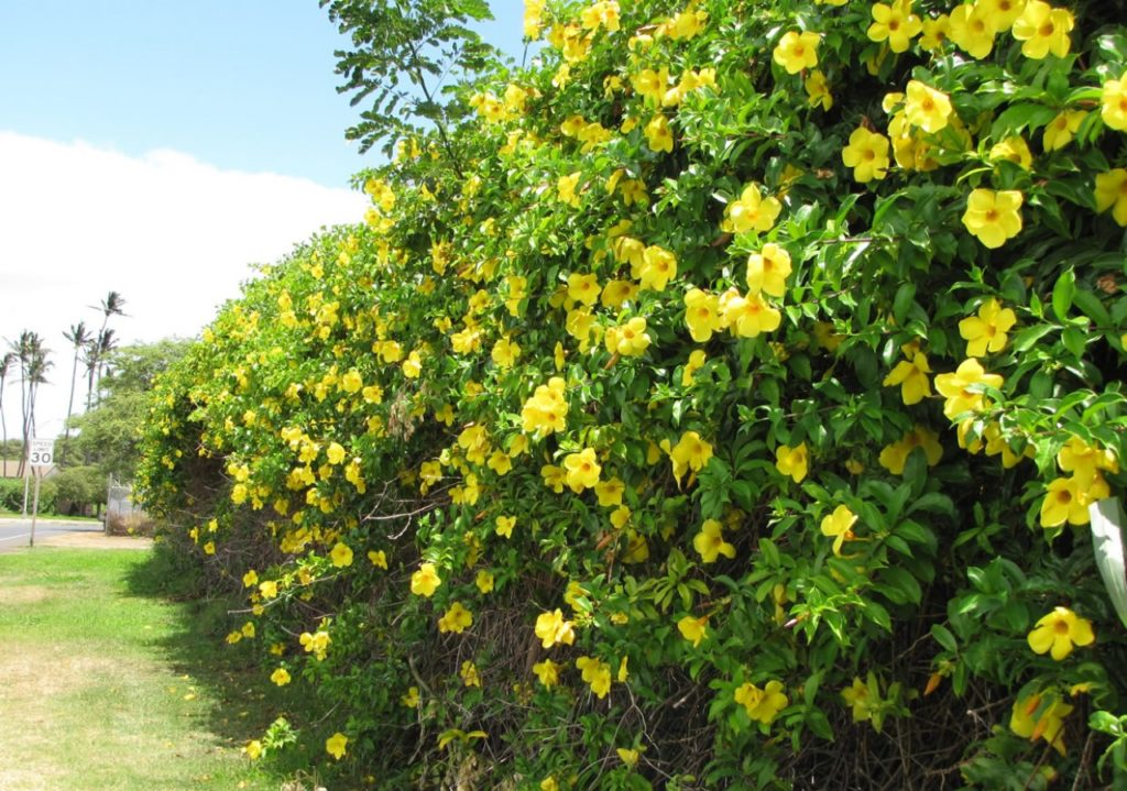 Flores que gostam de sol: alamanda.