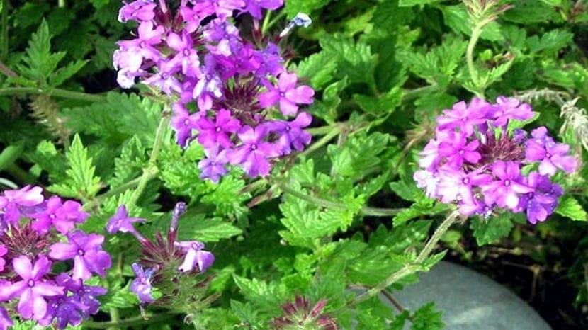 Flores que gostam de sol: verbena.