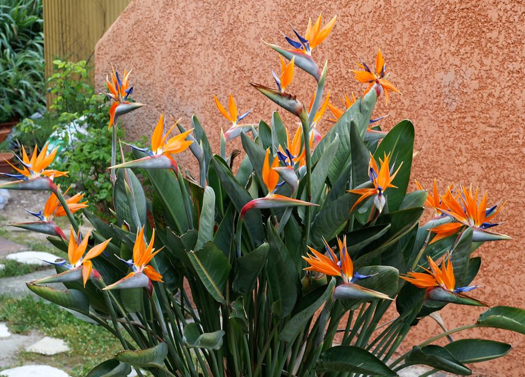 Jardim com planta ave do paraíso.