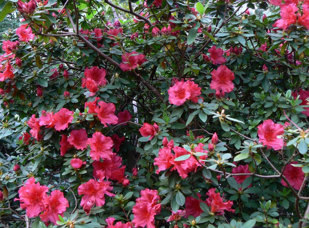 Flores de azaleia.