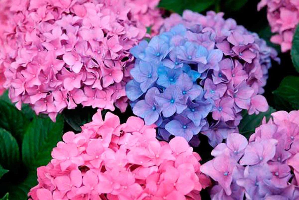Flores de hortência.