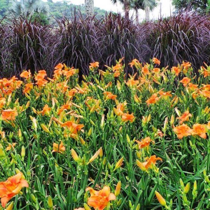 Jardim com flores de hemerocale.