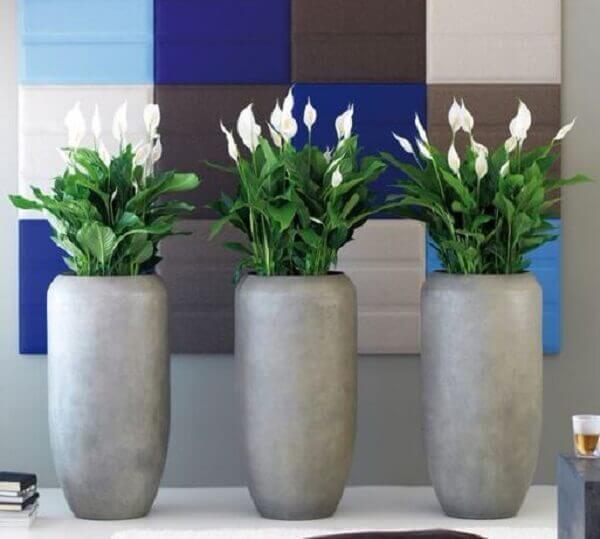 Vasos de cimento modernos com lírio da paz.