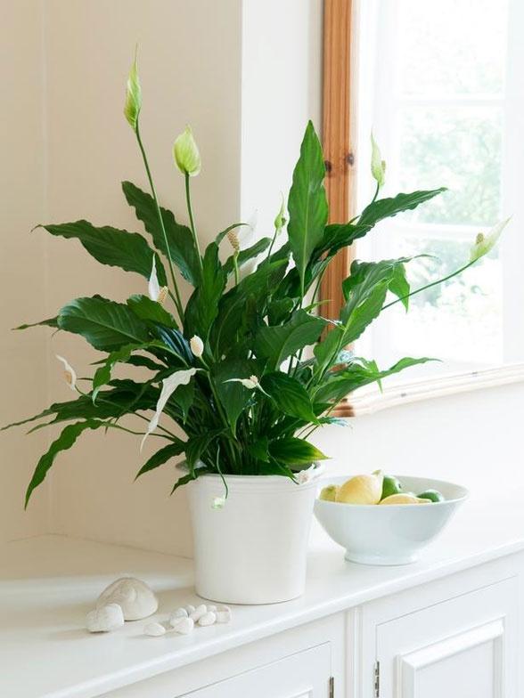 Vaso branco com lírio da paz.