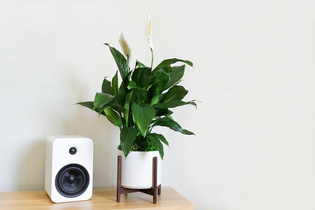 Vaso moderno branco pequeno com lírio da paz.