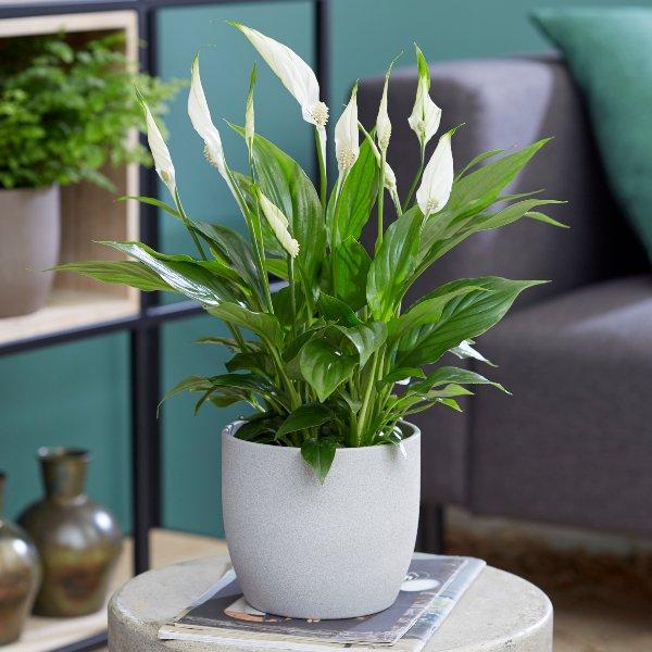 Sala com vaso branco de lírio da paz.