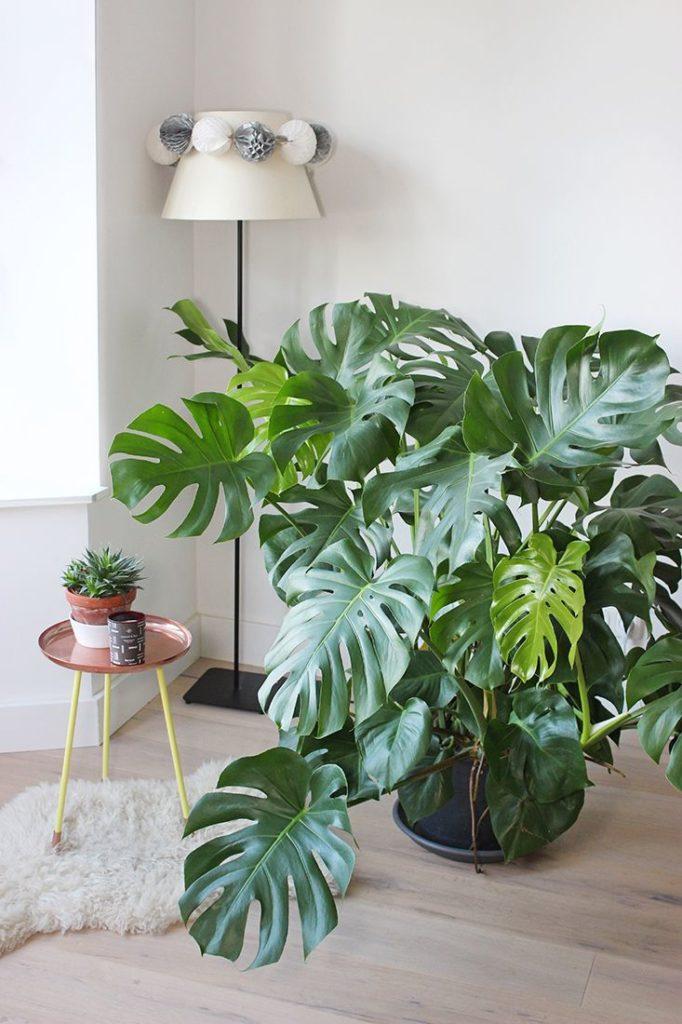 Plantas de sombra: costela de adão.