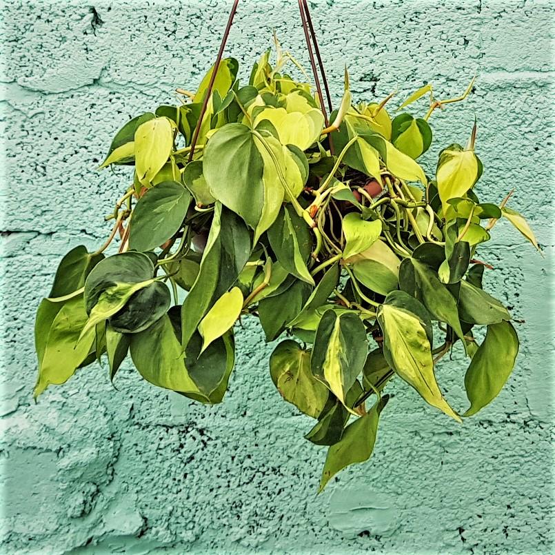 Plantas de sombra: filodendro-brasil