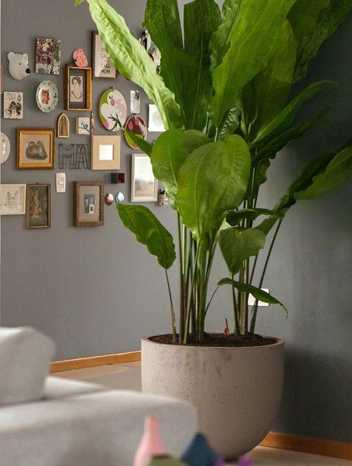 Plantas de sombra: ciclanto.