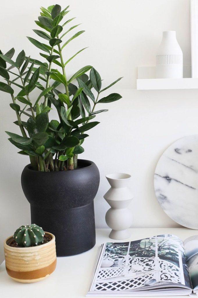 Plantas de sombra: zamioculca.