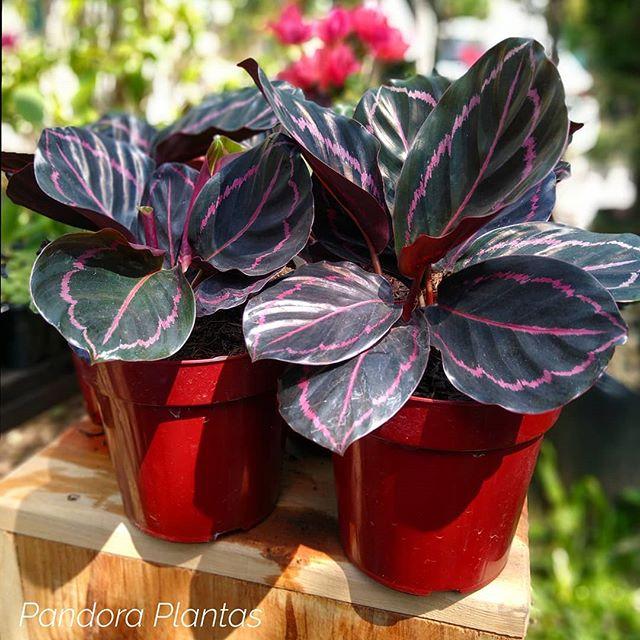Plantas de sombra: calathea-rubi.