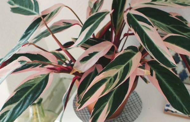 Plantas de sombra: caleteia triostar